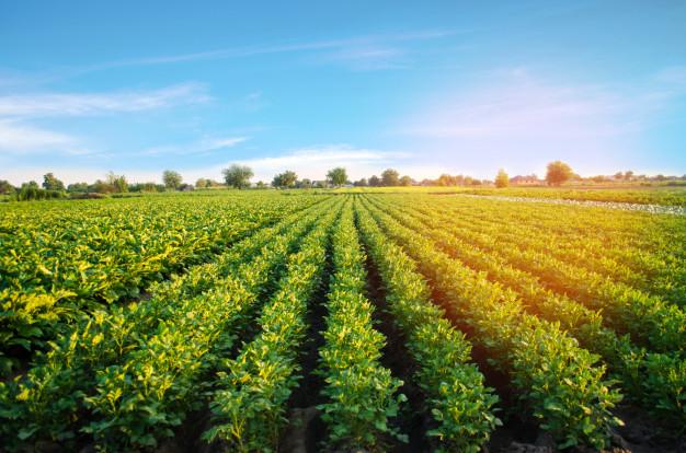 Champ de plantation de pomme de terre
